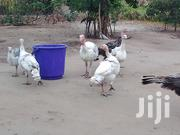Heritage Turkeys ( 12 Weeks Old ) | Livestock & Poultry for sale in Central Region, Cape Coast Metropolitan