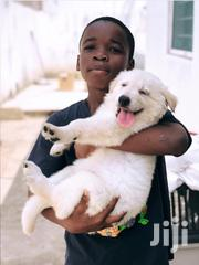 White Shepherd Puppies For Sale | Dogs & Puppies for sale in Greater Accra, Tema Metropolitan