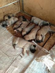 Bulldog Puppies | Dogs & Puppies for sale in Greater Accra, Adenta Municipal