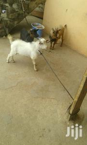 Goats | Livestock & Poultry for sale in Greater Accra, Achimota