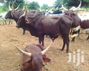 Cavs For Sale | Other Animals for sale in Northern Region, Kpandai