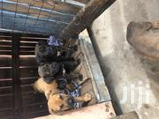 Boerboel Puppies Available | Dogs & Puppies for sale in Greater Accra, Asylum Down