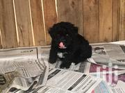 Black Maltese Poodle For Sale | Dogs & Puppies for sale in Greater Accra, Tema Metropolitan