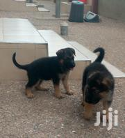 German Shepherd Puppies | Dogs & Puppies for sale in Ashanti, Kumasi Metropolitan