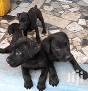 Healthy Black Boerboel Puppies(Male& Female) | Dogs & Puppies for sale in Greater Accra, Kwashieman