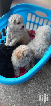 American Poodles | Dogs & Puppies for sale in Greater Accra, Achimota