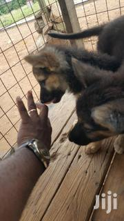 Very Strong Pupies For Sale | Dogs & Puppies for sale in Greater Accra, Ga East Municipal