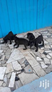 Healthy Black Puppies | Dogs & Puppies for sale in Greater Accra, Kwashieman