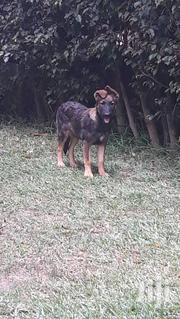 Solid German Shepherd Puppys Available Now Male and Female   Dogs & Puppies for sale in Greater Accra, Adenta Municipal