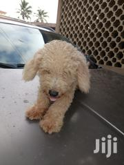 Male Poodle For Sale | Dogs & Puppies for sale in Greater Accra, Dzorwulu