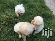 Maltese Puppy'S | Dogs & Puppies for sale in Greater Accra, Osu