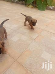 Boerboel And Doberman Male And Female | Dogs & Puppies for sale in Greater Accra, Achimota