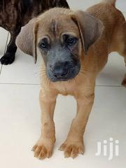 Boerboal Puppies | Dogs & Puppies for sale in Greater Accra, Accra Metropolitan