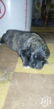 Caucasian Shepherd Puppies for Sale at Affordable Prices | Dogs & Puppies for sale in Ashanti, Ejisu-Juaben Municipal