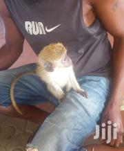 Friendly Monkey | Other Animals for sale in Greater Accra, Dansoman