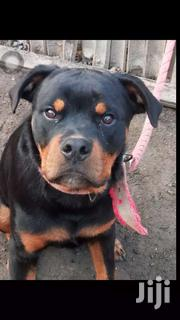 Male Rottweiler For Crossing | Dogs & Puppies for sale in Greater Accra, Agbogbloshie