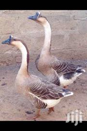 African Goose | Other Animals for sale in Ashanti, Kumasi Metropolitan