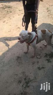 Dog For Crossing | Dogs & Puppies for sale in Western Region, Shama Ahanta East Metropolitan