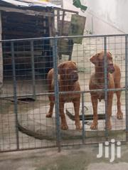 Adult French Mastiff For Sale | Dogs & Puppies for sale in Ashanti, Ejisu-Juaben Municipal