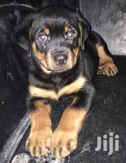 Solid Female Rottweiler Puppy | Dogs & Puppies for sale in Greater Accra, Mataheko