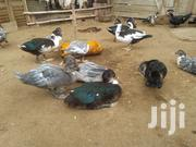 Local Duck | Other Animals for sale in Central Region, Gomoa East