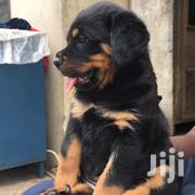4 Months Old Rottweiler Puppies | Dogs & Puppies for sale in Greater Accra, Nungua East