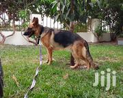 German Shepherd Female Adult | Dogs & Puppies for sale in Greater Accra, Adenta Municipal