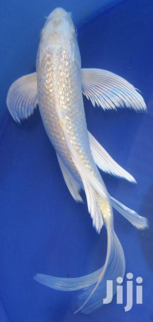 White Butterfly Koi