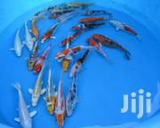 Koi Carps Fish | Fish for sale in Ashanti, Kumasi Metropolitan