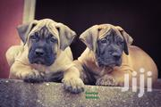 Baby Male Purebred Boerboel | Dogs & Puppies for sale in Greater Accra, Airport Residential Area