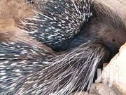 Porcupine | Other Animals for sale in Ashanti, Kumasi Metropolitan