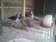Pheasant Fowls | Other Animals for sale in Ashanti, Kumasi Metropolitan