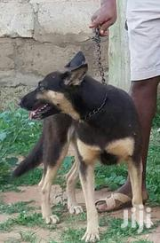 Adult Pure Female Shepherd   Dogs & Puppies for sale in Greater Accra, Accra Metropolitan