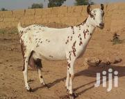 Biggest Goats | Reptiles for sale in Northern Region, Zabzugu/Tatale