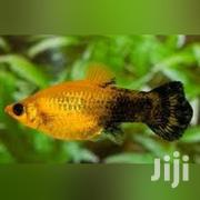 Live Aquarium Fishes | Fish for sale in Greater Accra, North Kaneshie
