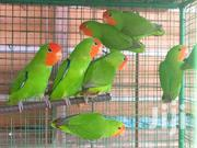 Cheap Lovebirds | Birds for sale in Greater Accra, Ashaiman Municipal