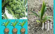 Certified Hybrid Coconut Seedlings | Feeds, Supplements & Seeds for sale in Greater Accra, Osu
