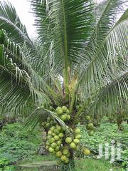 Malaysian Dwarf Coconut Seedlings For Sale | Feeds, Supplements & Seeds for sale in Ashanti, Kumasi Metropolitan