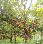 3.5 Acre Land With Matured Cocoa | Land & Plots For Sale for sale in Eastern Region, East Akim Municipal