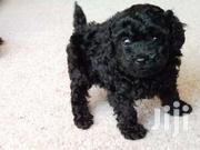 Poodles For Sale | Dogs & Puppies for sale in Greater Accra, Adenta Municipal