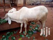 Sheep | Livestock & Poultry for sale in Brong Ahafo, Asutifi
