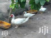 Ducks For Sale | Livestock & Poultry for sale in Greater Accra, Odorkor