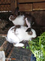 Male Rabbit For Sale   Other Animals for sale in Greater Accra, Roman Ridge