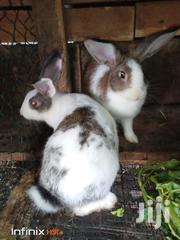 Male Rabbit For Sale | Other Animals for sale in Greater Accra, Dzorwulu