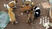 Local Crossbreed Puppies | Dogs & Puppies for sale in Greater Accra, Ga South Municipal