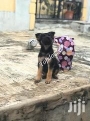 Purebred Straight Back German Sherpherd | Dogs & Puppies for sale in Greater Accra, Tema Metropolitan