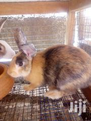 Healthy Rabbits | Livestock & Poultry for sale in Greater Accra, Odorkor