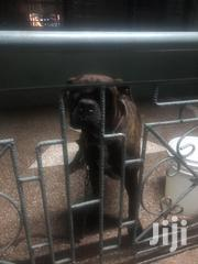 Pure Bred Brindle South African Mastiff/Boerboel For Stud(Mating) | Dogs & Puppies for sale in Greater Accra, Dansoman