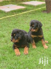 Pedigree Rottweiler Puppys Available Now | Dogs & Puppies for sale in Greater Accra, Adenta Municipal