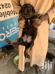 Solid German Shepherd Pups | Dogs & Puppies for sale in Greater Accra, North Kaneshie